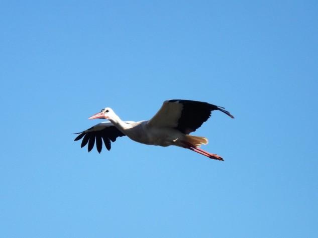 Uma cegonha-branca cruza os céus.