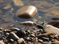 Uma alvéola alimenta-se na margem.