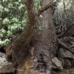 Bonito este tronco de um freixo.