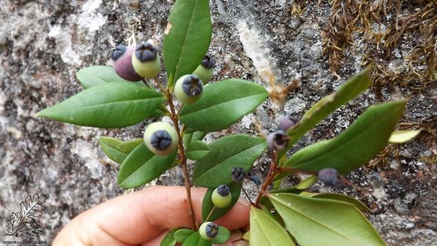 """Murta """"Myrtus communis"""", reparem nas bagas do lado direito de uma planta, e as outras bem mais pequenas colhidas numa planta ao lado."""