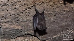 Esta espécie de morcego alimenta-se de insectos.