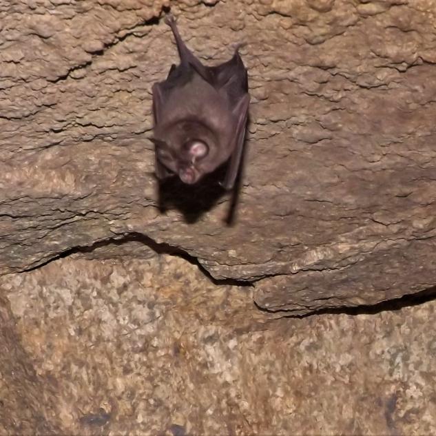 Estes morcegos dependem bastante das florestas autóctones onde o alimento abunda.