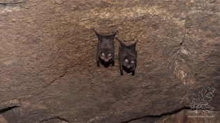 """Existem cerca de 25 espécies de morcegos em Portugal. Neste caso trata-se do Morcego-de-ferradura-grande """"Rhinolophus ferrumequinum""""."""