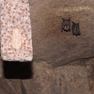 """Dois morcegos-de-ferradura-grande """"Rhinolophus ferrumequinum""""."""