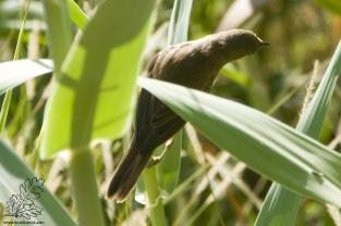 Esta pequena ave tal como as outras espécies de rouxinóis adora cantar à noite.