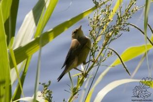 O rouxinol-pequeno-dos-caniços é essencialmente uma ave insectívora.