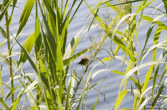 Tal como o nome indica esta ave frequenta basicamente zonas de caniçais.