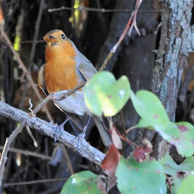 Considero esta pequena ave bastante simpática, curiosa, e excelente interprete, pois canta maravilhosamente bem.
