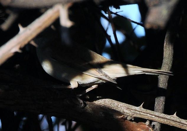 O Papa-Amoras é uma pequena ave insectívora pertencente à família Sylviidae.