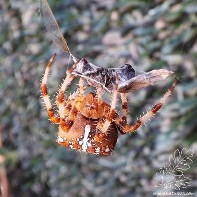 Aranha-de-cruz Araneus diadematus, aquele conjunto de manchas brancas no seu abdómen denunciam a forma de uma cruz, a sua principal característica.