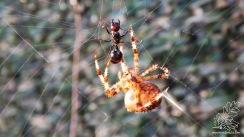 Está agúdia em poucos segundos estará cativa desta aranha.