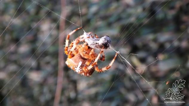 Pelo tamanho (cerca de 2cm), trata-se de uma fêmea e como acontece noutras espécies o macho é bastante mais pequeno, neste caso não excedendo 1cm.