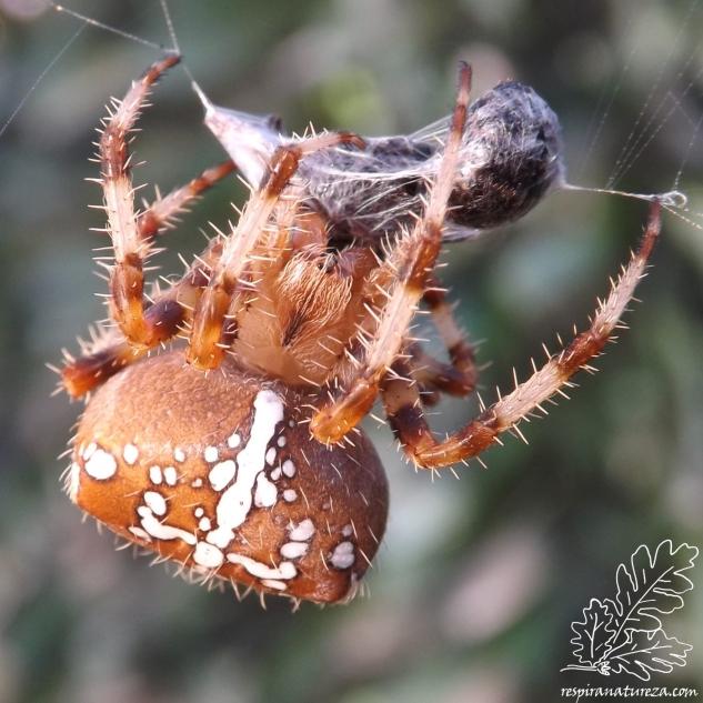 """A aranha-de-cruz pertence a um grupo diferente da aranha-lobo, aranha-napoleão e de outras que não constroem teia e que caçam por """"emboscada"""", esta constrói uma teia circular e aí é o seu campo de caça."""