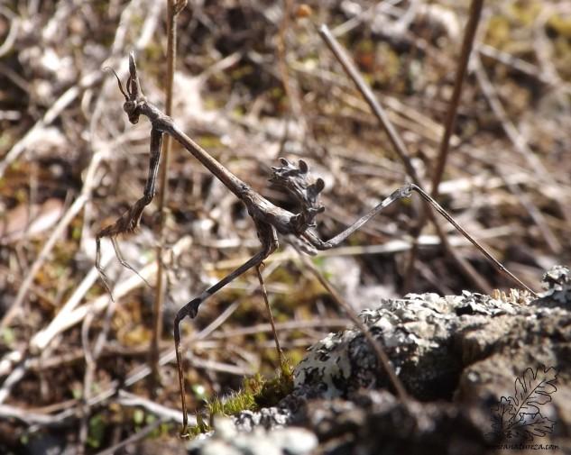 Apesar do aspecto, este pequeno ser é completamente inofensivo e um grande amigo do ser humano, já que mantém muitos outros insectos afastados das nossas hortas.