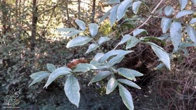 """""""Sambucus nigra""""... Sabugueiro uma planta muito usada na farmacêutica."""