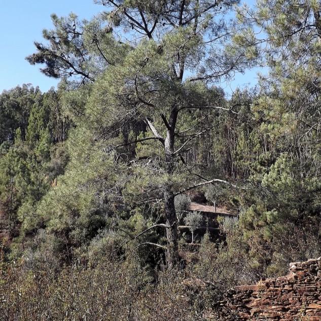 Uma pena, deste pinheiro saiu um pica-pau-verde, não fui a tempo de uma fotografia, ele foi mais rápido...