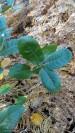 """Carvalho-cerquinho (carvalho-português), """"Quercus faginea""""."""