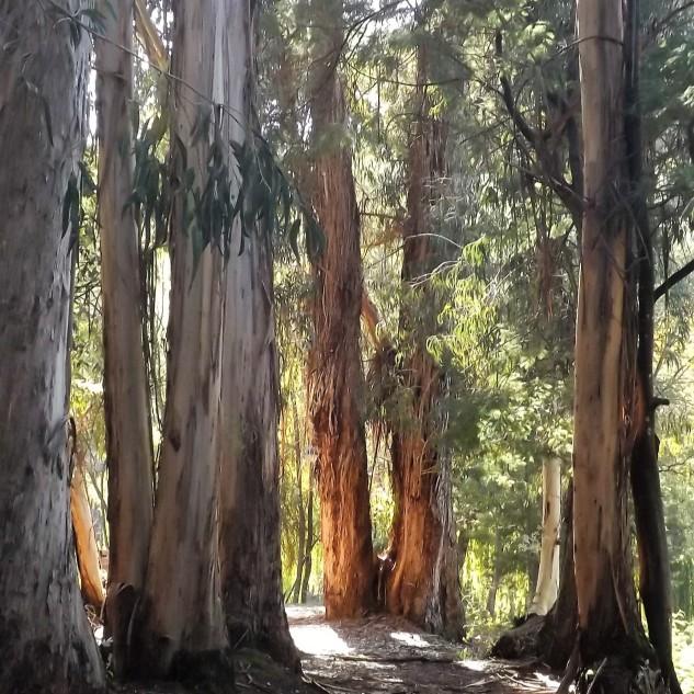 Aqui estes eucaliptos não são um problema pois apenas estão aqui para fazer parte da paisagem, já tem um enorme porte, e darão guarita a muitas aves.