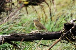 Esta pequena ave insectívora é uma invernante bastante comum por esta altura do ano.