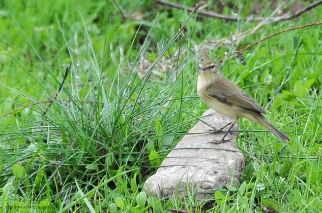 Não a considero uma ave tímida, pelo que é possível uma aproximação cuidada para tirar algumas boas fotos.