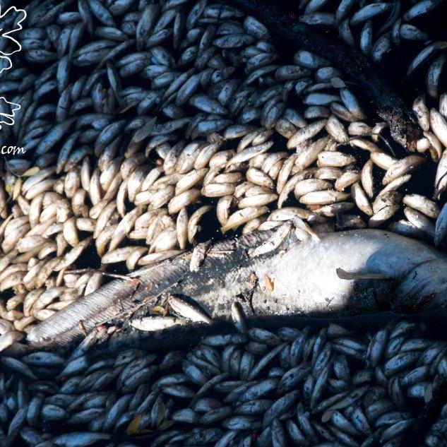 Milhares de peixes mortos por todo o lado. A poluição começa em Vila Velha de Rodão e vai-se dissipando Tejo abaixo espalhando a morte pelas águas.