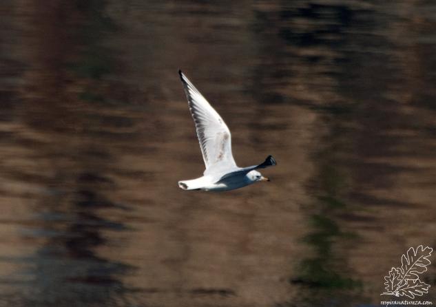 O guincho-comum é uma gaivota de porte reduzido.