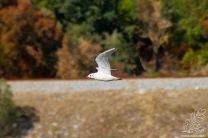 O guincho-comum não nidifica em Portugal, nidifica em latitudes mais a norte.