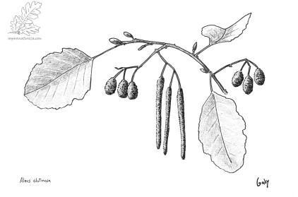 Ilustração Alnus glutinosa