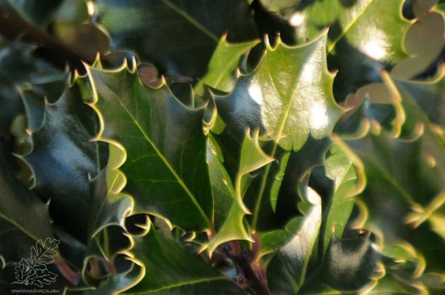 As folhas do azevinho são rijas e espinhosas nas orlas.