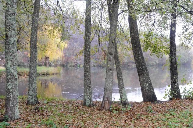 O Amieiro Alnus glutinosa é uma árvore de folha caduca.