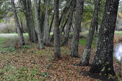 Esta árvore pode crescer até aos 30 metros de altura.