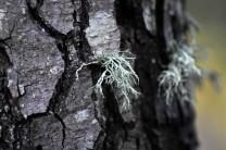 A casca do amieiro é de um castanho acinzentado, com a idade o tronco torna-se muito gretado.