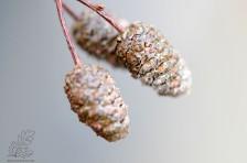 Quando secam as pinhas de amieiro vão começar a abrir, proporcionando um belo reforço alimentar para muitas espécies de aves.