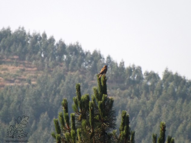 Lá ao longe num pinheiro uma fêmea observa a paisagem.