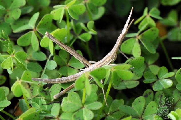 Apesar de parecer um bicho-pau trata-se de uma ninfa de gafanhoto-narigudo Truxalis nasuta.