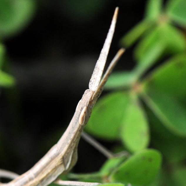 Gafanhoto-narigudo Truxalis nasuta.
