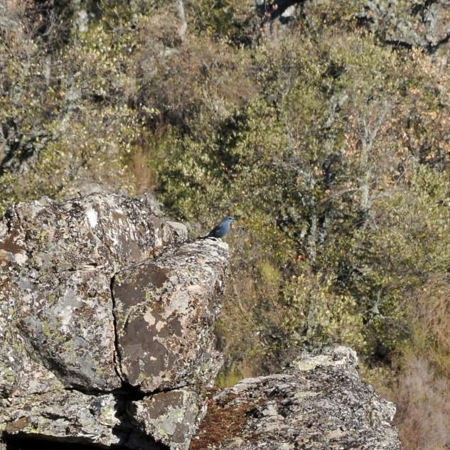 Ao longe observo movimento, trata-se de um melro-azul Monticola solitarius, uma ave de cor azul, que habita em zonas rochosas como esta.