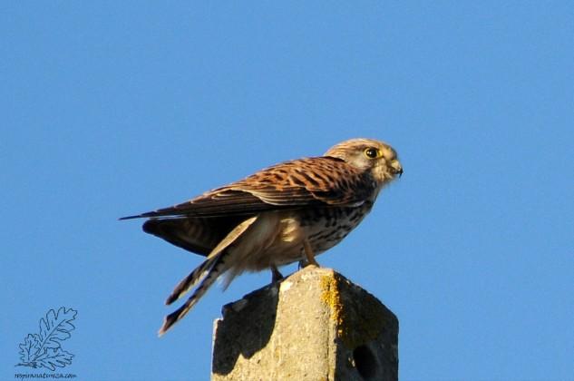 Esta ave frequenta normalmente zonas descampadas, terrenos em pousio e outras zonas agrícolas em altitude ou não.