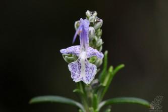 """Alecrim """"Rosmarinus officinalis"""""""