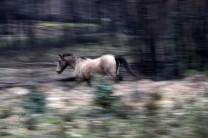 Cavalo selvagem do Vale do Grou.