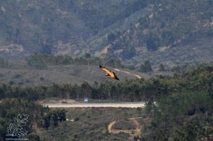 Um grifo a voar, com pano de fundo a A23.