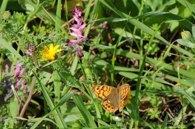 """Enquanto as fotografava posou por perto a borboleta-malhadinha """"Pararge aegeria""""."""