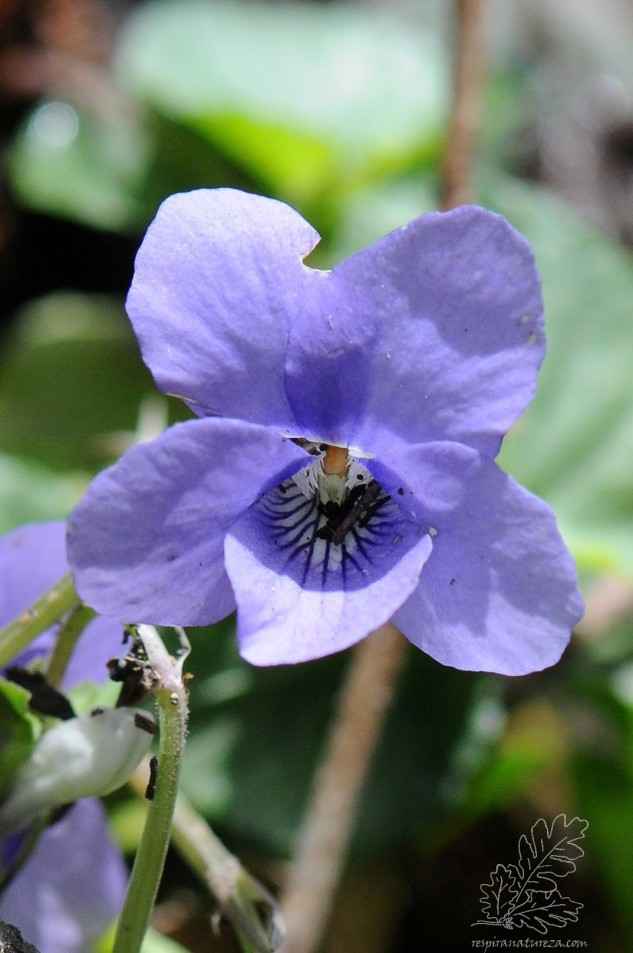 "Violeta-brava ""Viola riviniana"" ou Viola canina"""