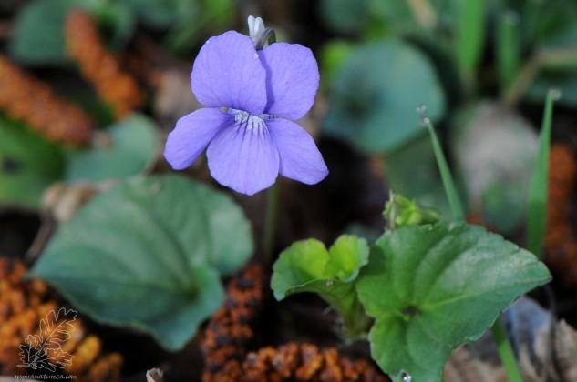 Nesta altura do ano já a podemos encontrar em floração.