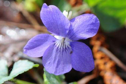 """""""Viola riviniana"""" ou """"Viola canina"""" nome comum violeta-brava."""