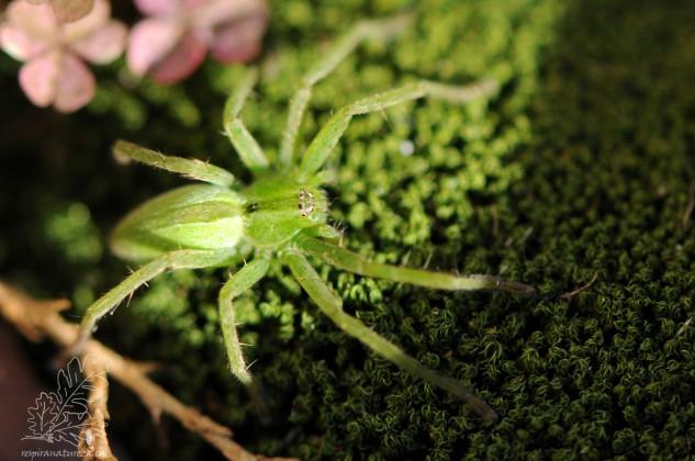 Nómada-das-ervas-mediterrânica Micrommata ligurina