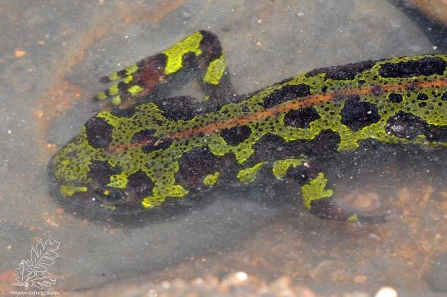 """Tritão-marmoreado-pigmeu """"Triturus pygmaeus"""""""