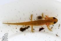 Larvas de Lissotriton Sp.