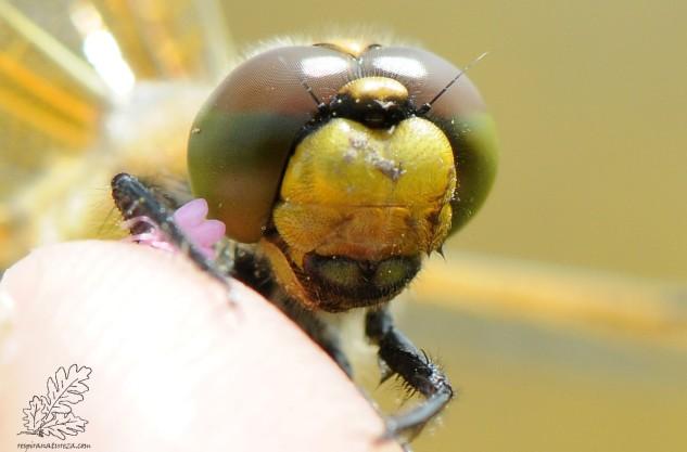 """Libélula """"libellula quadrimaculata"""""""