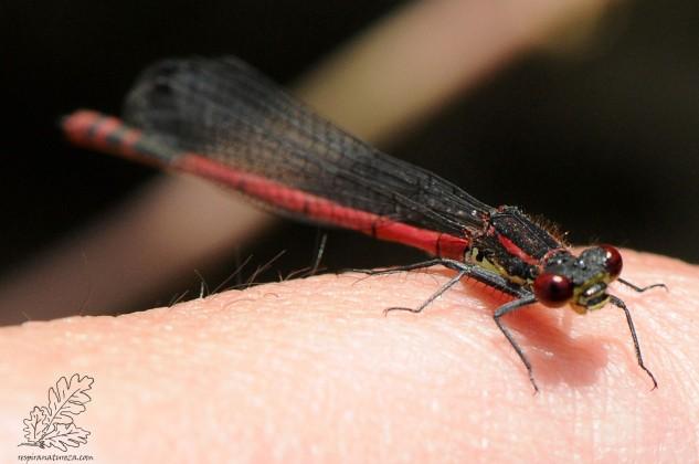 """Libelinha-vermelha-grande """"Pyrrhosoma nymphula"""""""